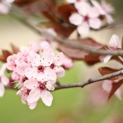 L'eternel recommencement (dores O_o) Tags: pink flowers tree colors rose fleurs cherry 350d 50mm spring couleurs sakura f18 rebirth canoneos350d arbre eos350d renaissance cerisier pintemps