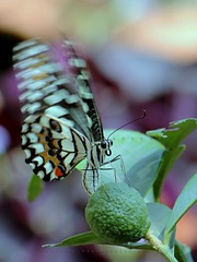 Butterfly (Shahriar Xplores...) Tags: color macro green closeup canon butterfly insect fly flying wings focus dof image action top