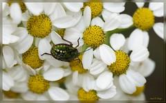 escarabajo de jade (susodediego ) Tags: macro primavera nature spring beetle escarabajo printemps käfer frühling besouro scarafaggio coléoptère άνοιξη σκαθάρι nikond300