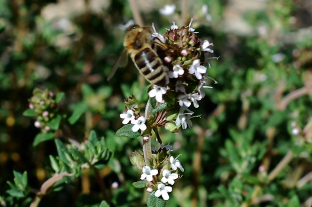 Bee pollinating our flowering thyme plant by Eve Fox, Garden of Eating blog