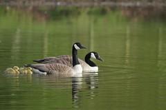 Wild geese and their chicks / Gansos selvagens e os seus pintos (Tiago Cabral) Tags: geese chicks ganso pintos