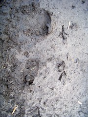 Tamandua tracks