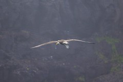 5- Waved Albatross (Phoebastria irrorata) Takes Off