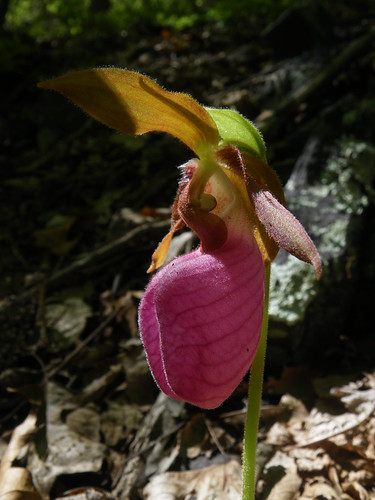 Cypripedium acaule, Pink Lady Slipper Orchid in wild