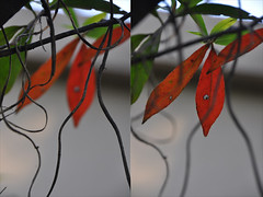 (hansika.jethnani) Tags: china autumn red orange tree green nature ilovenature leaf backyard branch shanghai ilovegreen yaygreen orspring actuallysummer shanghaiweather