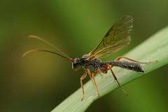 Ichneumonidae - Sluipwesp species (henk.wallays) Tags: wasp belgium belgie species flandres hymenoptera vlaanderen wesp guepe ichneumonidae sluipwesp tryphoninae dyspetes