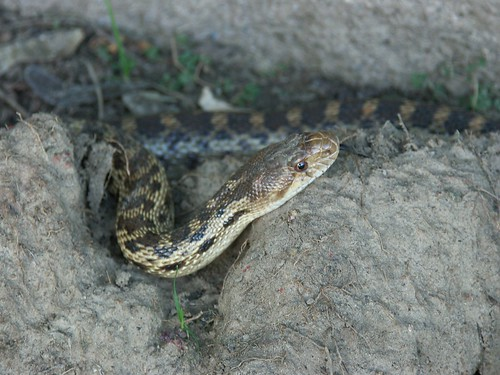gophersnake2, clinton collier