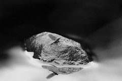 Leptophlebia marginata (Lars L. Iversen) Tags: marginata leptophlebia