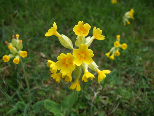 Cowslips (5)