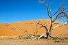 Desert Tree (Duncan George) Tags: africa nature landscape dead landscapes sand nikon dry sanddune namibia sanddunes himba sossusvlei camelthorntree namibdesert acaciatree namibnaukluftnationalpark colorphotoaward d700 thesecretlifeoftrees