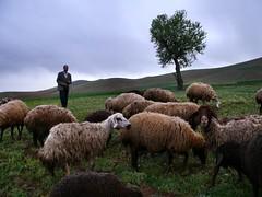 Shepperd (dynamosquito) Tags: tree rural persian sheep iran persia iranian arbre mouton berger perse shepperd iranien panasoniclumixdmcfz50 dynamosquito farasfaj hamedanprovince