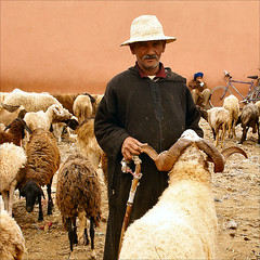 man with his sheep........... (atsjebosma) Tags: man bike sheep market explore morocco goats maroc camels marokko fiets schapen geiten anawesomeshot theunforgettablepictures guelmin atsjebosma kamelenmarkt