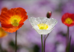Poppy (h orihashi) Tags: pentax pentaxk7 k7 japan macro flower 日本 花 coth mamasbloomers envyofflickr bej naturesgarden blueribbonwinner crystalaward citrit damniwishidtakenthat cherryontop rubyphotographer newenvyofflickr diamondclassphotographer flickrdiamond fineartphotos supershot impressedbeauty naturesfinest thebeautifulimagetop ilikethenature inthemood amazingdetails abigfave jalalspagesfloraalbum everydayissunday flowersandorcrystals bestofdamniwishidtakenthat dream20092010 beautiful flickraward royalgroup diamondstars flickrestrellas heartawards justpentax flickrhearts pentaxart musictomyeyes peaceawards niceshot ubej highqualityimages doublyniceshot colourartaward aphoto platinumheartaward goldenpicturesworth1000words tripleniceshot infinestyle breathtaking photographicartlegacy flickrbronzeaward flickrsilveraward colorphotoaward