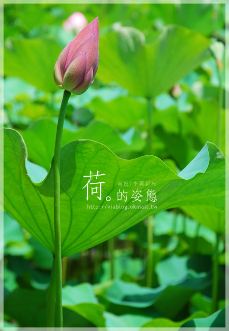 【2010賞荷】南投中興新村~荷花(蓮花)池準備盛放!5