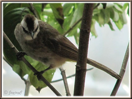 Threatening male Pycnonotus goiavier (Yellow-vented Bulbul) on White Mussaenda tree in our garden
