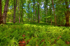 fern covered forest ([nosamk] KMason photography) Tags: trees sunlight forest print landscape nc tripod northcarolina national ferns hdr gitzo pisgah brevard photomatix transylvaniacounty 5exposure arcatech gt2531 nikonafsnikkor1635mmf4gedvr tscf2010ar