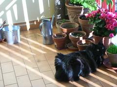 Rafa (Luca Nonato) Tags: black cat blackcat chat neko katze gatto nero gattonero