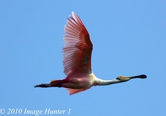 Roseate Spoonbill (Image Hunter 1) Tags: pink blue sky nature birds flying wings louisiana flight feathers bayou swamp marsh wingspan spoonbill roseate roseatespoonbill wingspread birdslouisiana panasonicfz35