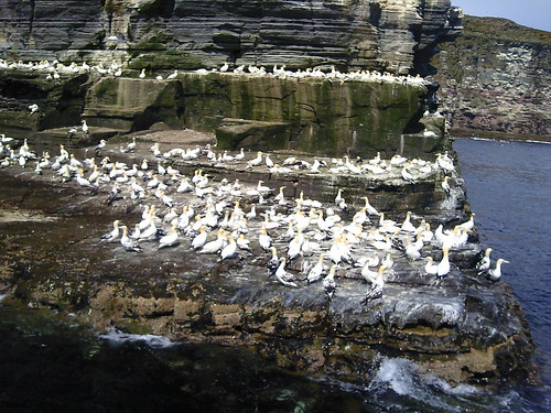Gannets on  Noss #shettrip