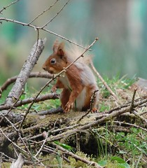 Standing Erect (dave millers photos) Tags: red yorkshire north squirel snaizeholme