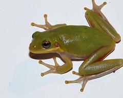 Back Door Visitor II (mmblawyer) Tags: nature mississippi outdoors wildlife may amphibian frog treefrog 2010 gulfcoast
