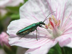 Thicked-Legged Flower Beetle (Oedemera nobilis) Female (Pipsissiwa) Tags: uk flower macro female garden insect wildlife beetle thick legged invertebrate arthropod nobilis minibeast oedemera colepotera
