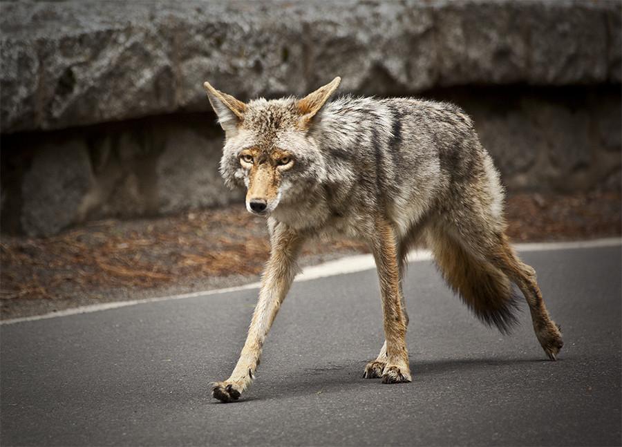 159/365: Wild Coyote.