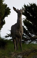 Deer (einvival) Tags: nature animal norway nikon sigma deer d80