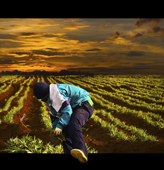 The Harvest. (Tomasito.!) Tags: light boy portrait sky people plants sun man mountains guy tourism fruits leaves clouds photoshop garden macintosh person photography 3d mac nikon shadows time farm philippines working harvest dramatic surreal manipulation hills soil jacket gloves pineapple worker bonnet slippers planting outofbounds oob d90 cagayandeoro 18105mm nikond90 mygearandme delmontefarm