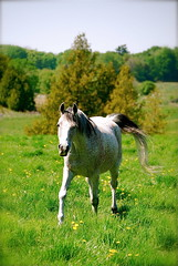 running horse (Tomitheos) Tags: portrait horse flickr mare image avatar picture optical pic daily crosscountry photograph capture now today stallion 2010 stockphotography runninghorse  bytomitheos blackstockontario