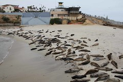 La Jolla Seals 2 (drothamel) Tags: california beach water la rocks seal jolla