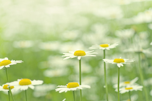 フリー写真素材, 花・植物, キク科, マーガレット・木春菊, 白色の花,