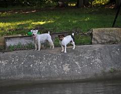 Dirty Dogs (BKHagar *Kim*) Tags: dogs water angel river sam schnauzer terrier sammy banks bkhagar