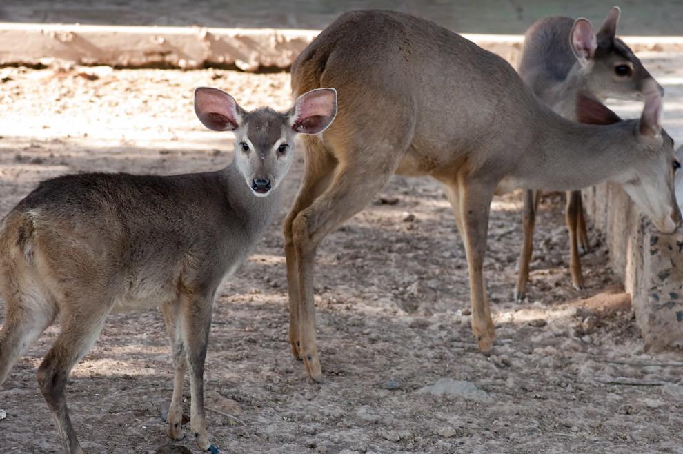 Una familia de Venados son criados y mantenidos en el mini-zoológico del Hotel Pioneros (Elton Núñez - Cruce Pioneros, Paraguay)