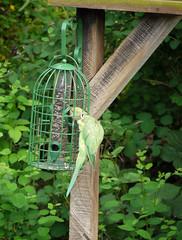 Rose-ringed parakeet feeding (Rupert Brun) Tags: green bird garden squirrel fat balls feeder seeds parakeet proof feed squirrelproof roseringed