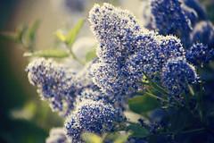 Ceanothus (Scottish Rose) Tags: flowers blue flower canon spring cosmopolitan dof action bokeh best 5d shrub ceanothus florabella
