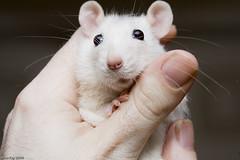 Elise (Arathrael) Tags: pet girl female rodent rat elise