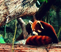 red panda (paloetic) Tags: cute redpanda creativecommons tarongazoo endangeredspecies 100pictures themeanimal 100pictures2010 26100pictures