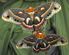Cecropia moth pair (World Unity 9) Tags: nature moth insects emergence cocoon cecropia saturniidae colorphotoaward hylaphora