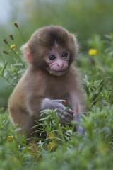 In the grassland (Masashi Mochida) Tags: baby animals monkey grassland awaji naturesfinest coth supershot hennys impressedbeauty flickrdiamond newgoldenseal