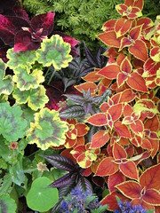 Geranium Persian Shield and Coleus Composition
