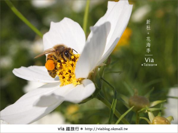 【2010新社花海】via帶大家欣賞全台最美的花海!29