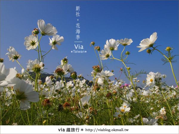 【2010新社花海】via帶大家欣賞全台最美的花海!25