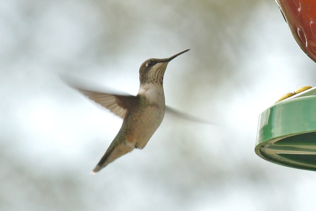 Ruby-throated hummingbird (6)