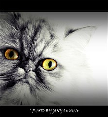 cat gato polly felino persiancat gatopersa jonycunha