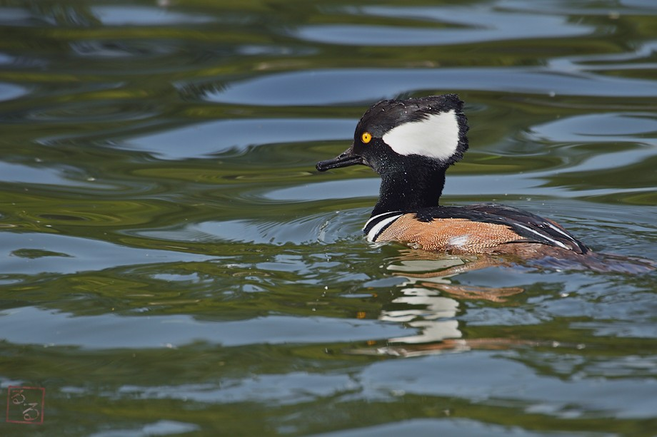 Hooded Merganser 111010-5