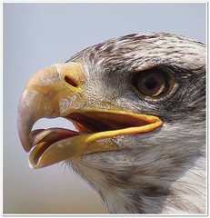 The Mighty Eagle (cathmads) Tags: nature fantastic eagle bald qualitygold