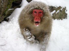 Shiga-Kogen Snow Monkey, Japan