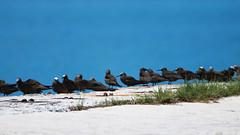 Brown Noddy (W + S) Tags: keywest floridia fl bird nature birdwatching birds birdlover birding dry tortugas np garden key drtortugas brown noddy