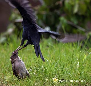 Blackbird and the Hen Sparrow .0647